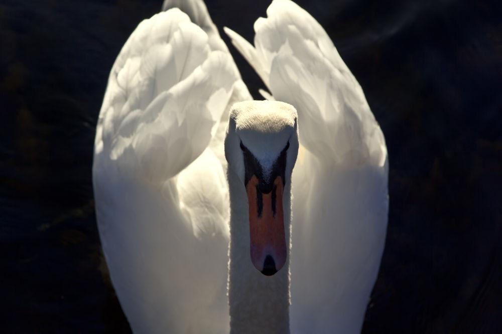 Swan portrait by Sonny Kraack