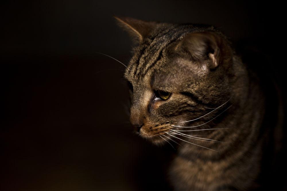 Photo in Animal #cat #cats #pet #head #bengal