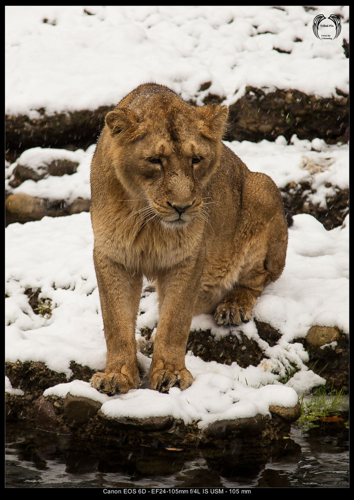Lion in the snow... by Stephan Nenning