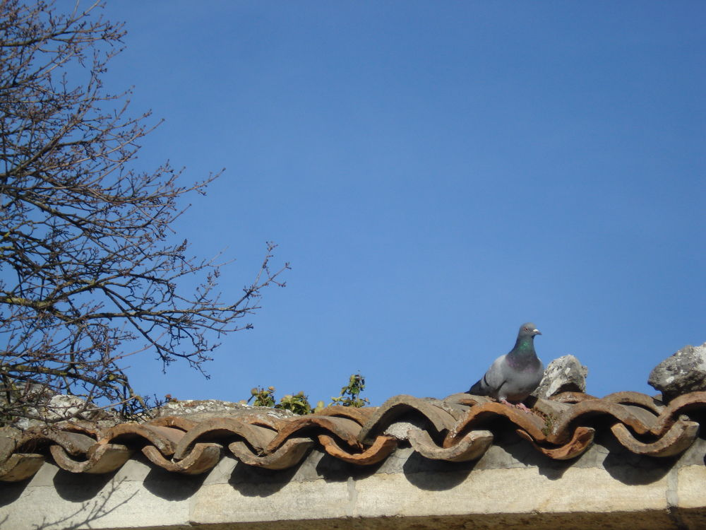 Pigeon over the roof by lucy yuriko pelliser