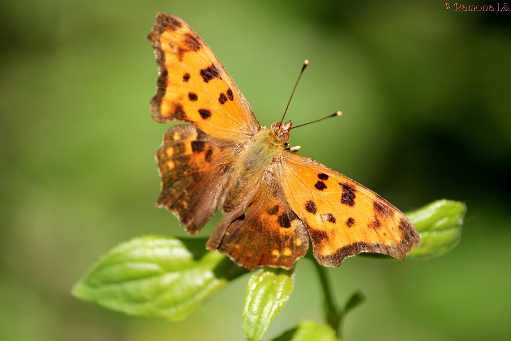 buterfly by Ramona IS