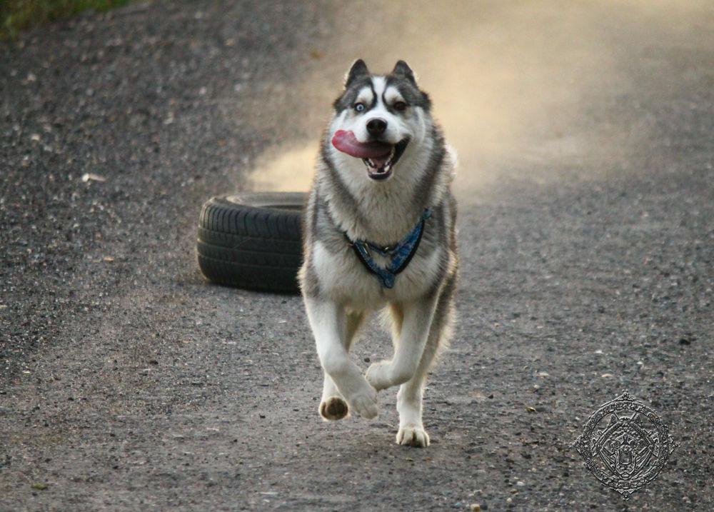 Siberian husky - Training with pneu once more by Honza Svoboda - Norra Vargar Siberians Kennel