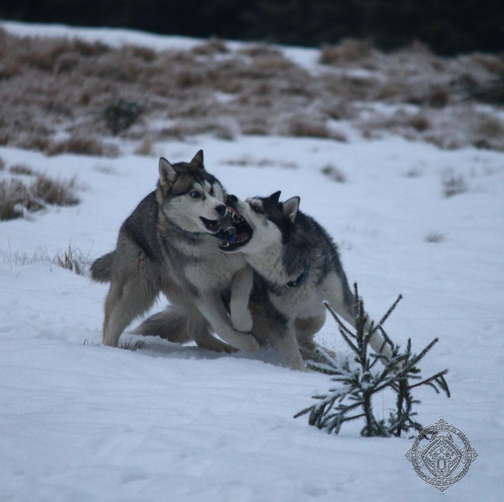 Siberian husky - Teeth by Honza Svoboda - Norra Vargar Siberians Kennel