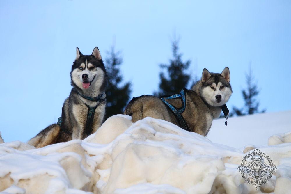 Photo in Animal #siberian husky #husky #siberian #dog #animal #mountain
