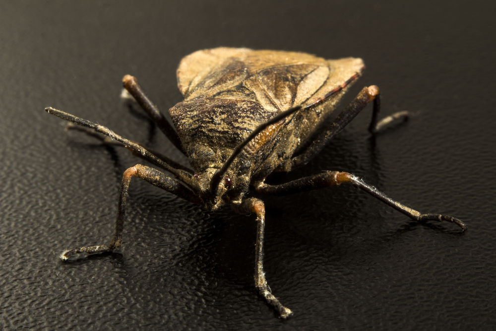 beetle by marcelo.gallep