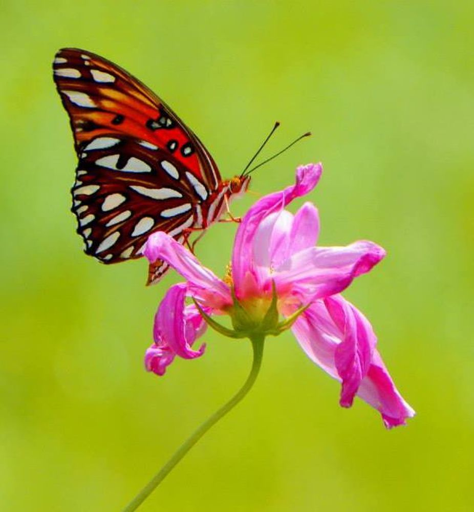 Butterfly by sammiepue