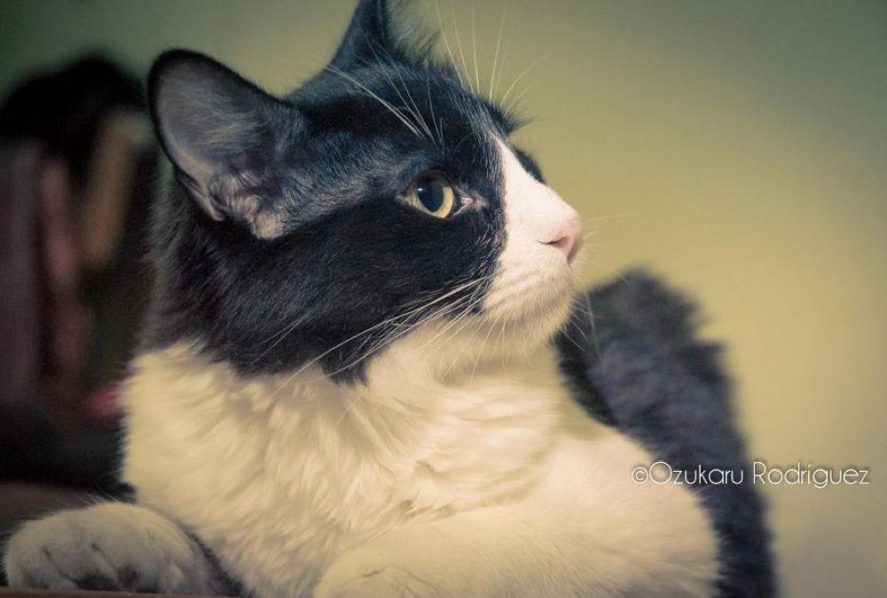 Photo in Animal #cat #oliver #animal #pet
