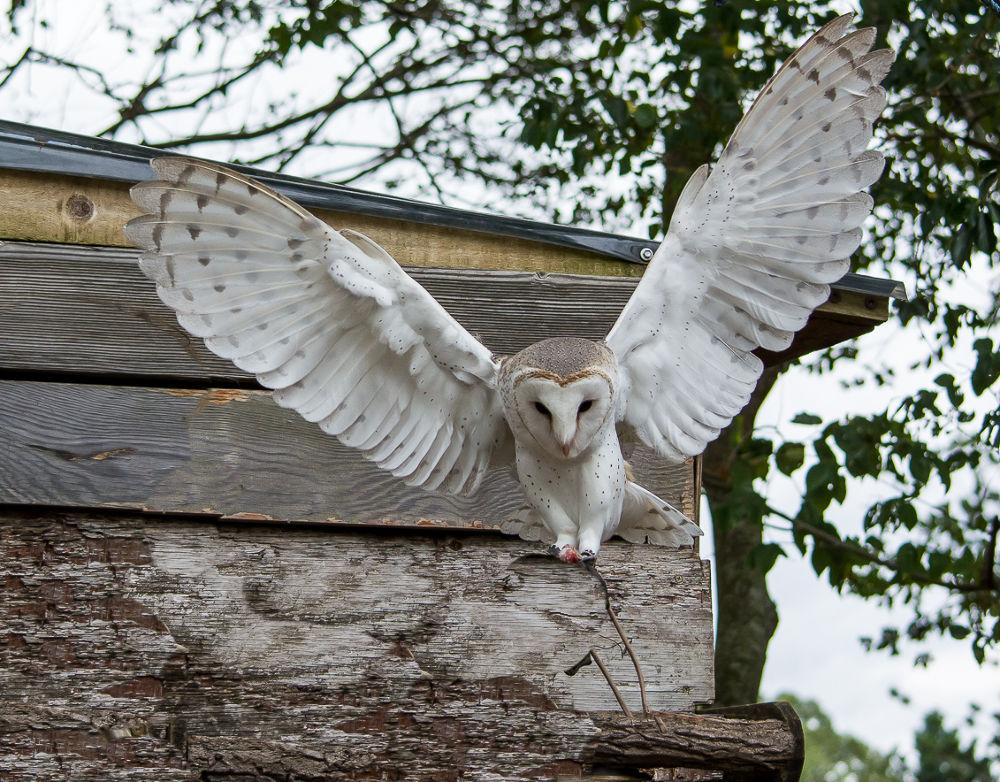 Barn Owl by Troy Carroll