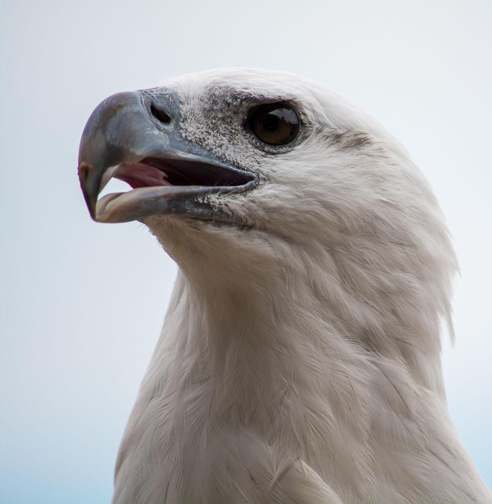 Sea Eagle by Troy Carroll