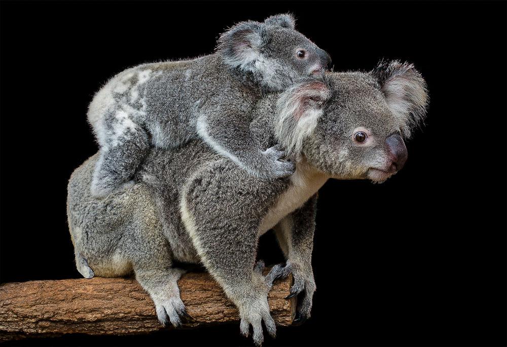 Koala & Cub by Troy Carroll
