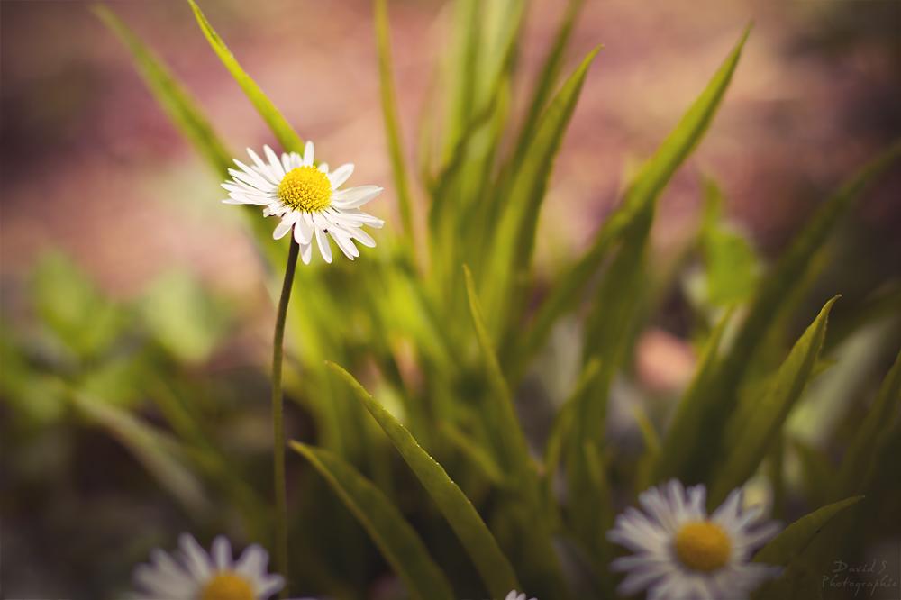 Daisy by David Salobir