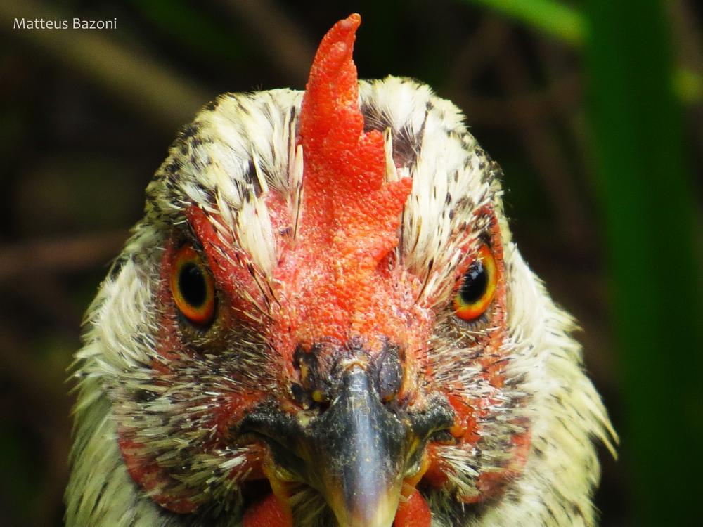 chicken by MatteusBazoni