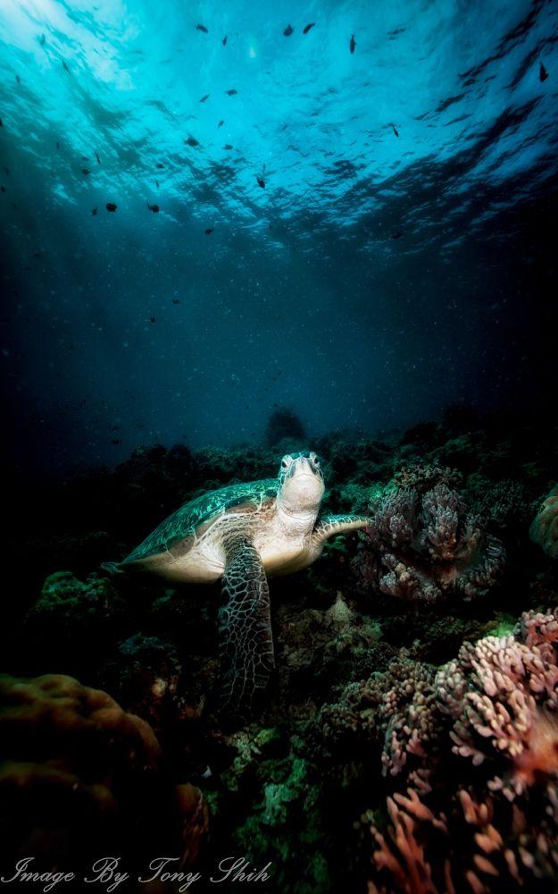 Turtle In Sipadan by tonyshih317