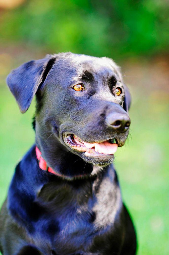 Photo in Animal #dog #labrador #pet