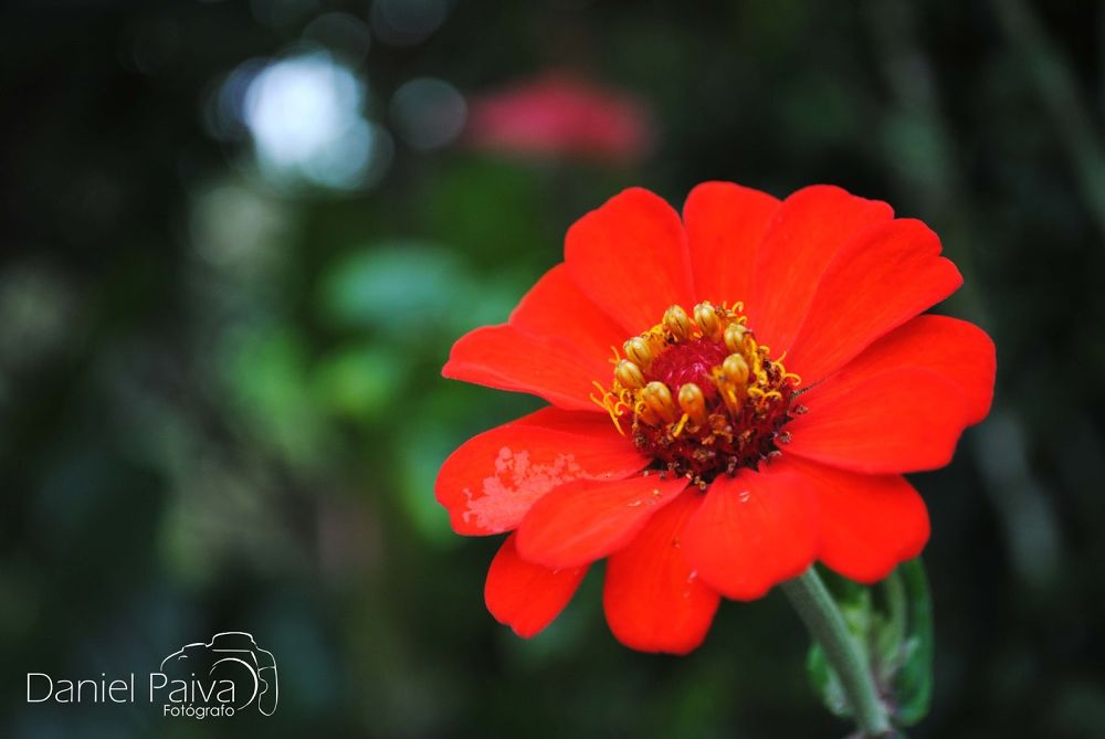 red flower by Daniel Paiva
