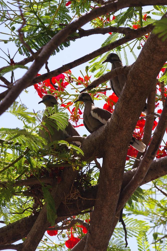 Pigeons guarding her nest. It's in the same nest tree 5 predators. El Coco Beach, Guanacaste, Costa  by Alfredo Lizano Zumbado