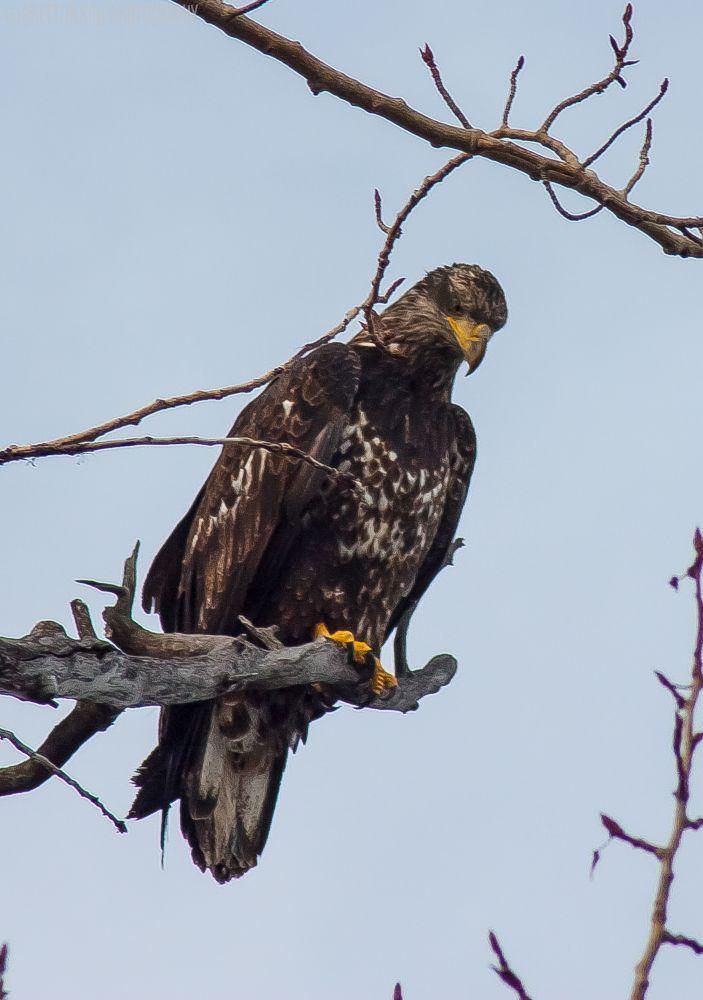 Young eagle by Brett Olson