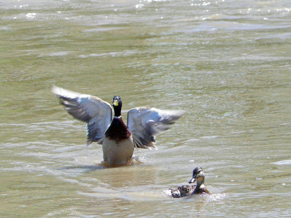 Photo in Animal #duck #bird