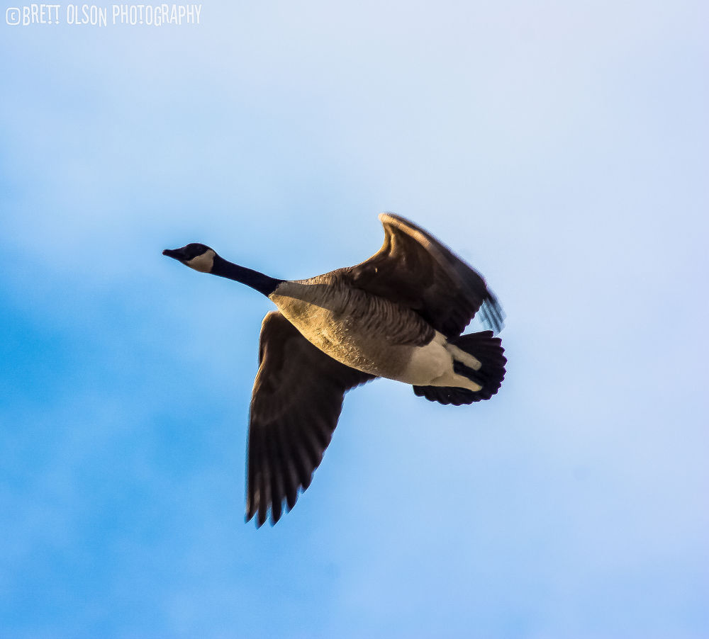 Photo in Animal #goose #canada #bird