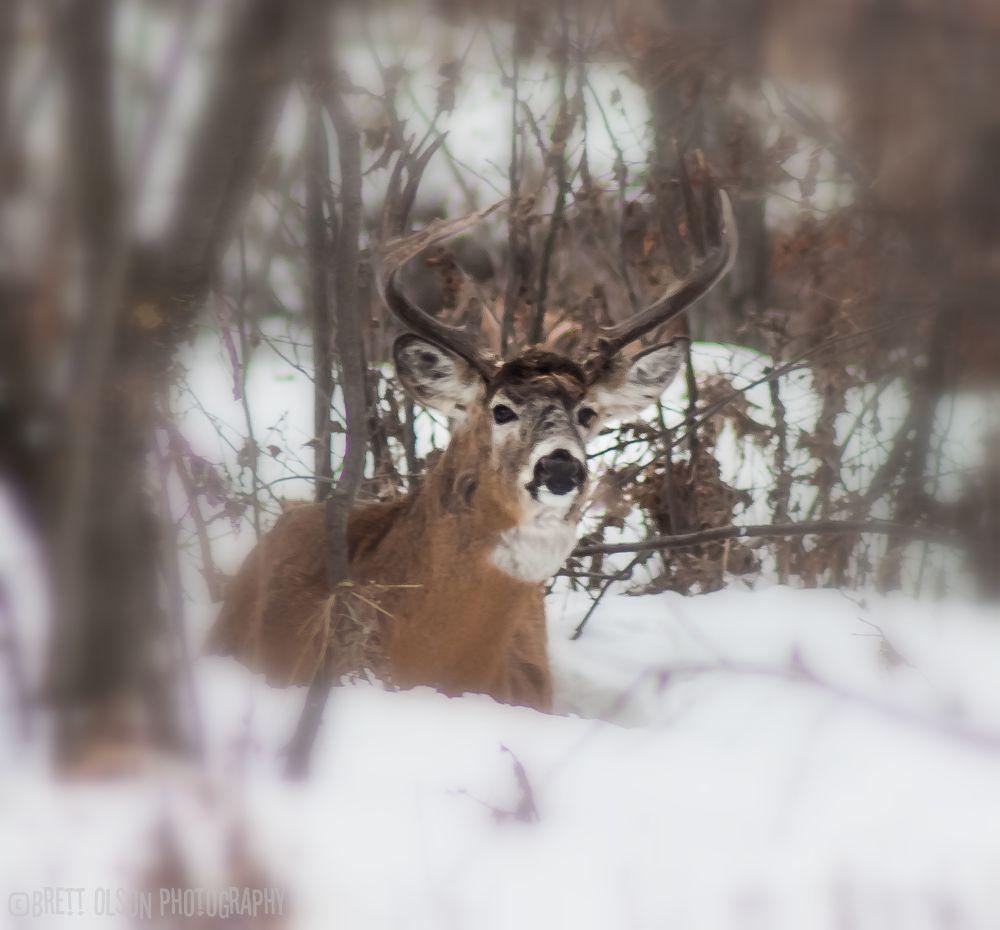 Relaxing Buck by Brett Olson