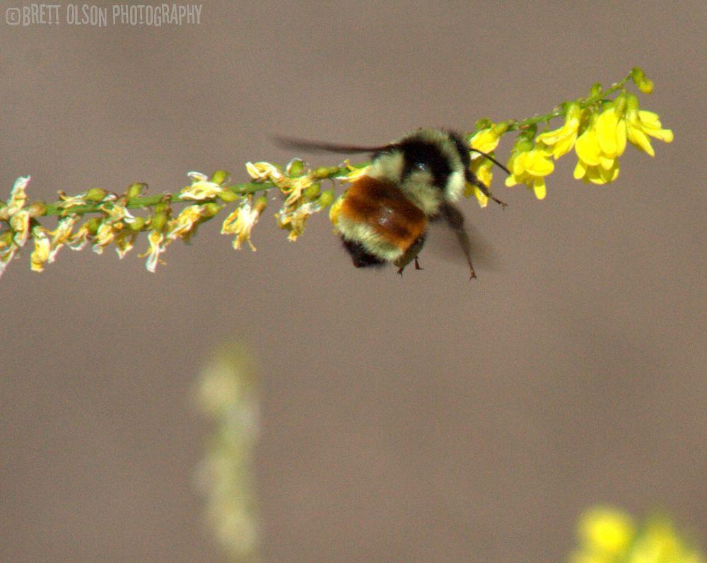 Bee by Brett Olson