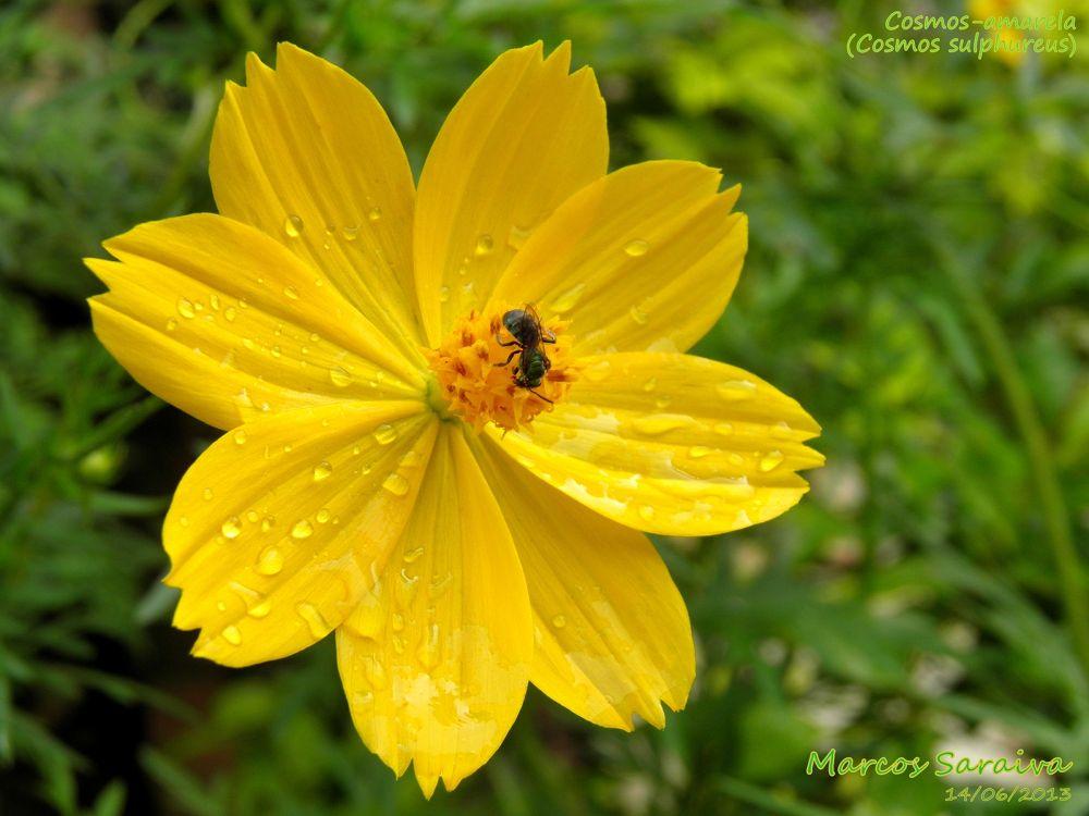 P6143279a1 - Cosmos-amarela / Yellow Cosmos (Cosmos sulphureus) by Marcos R G F Saraiva