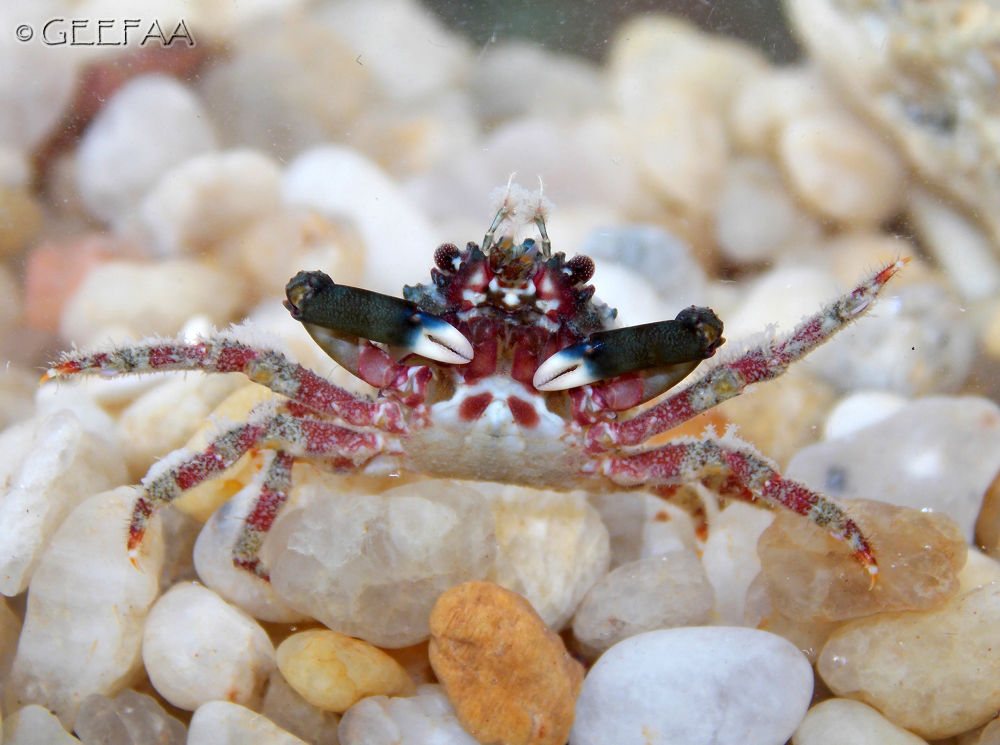 Red-ridged clinging crab (Mithraculus forceps) by Alex Barbosa