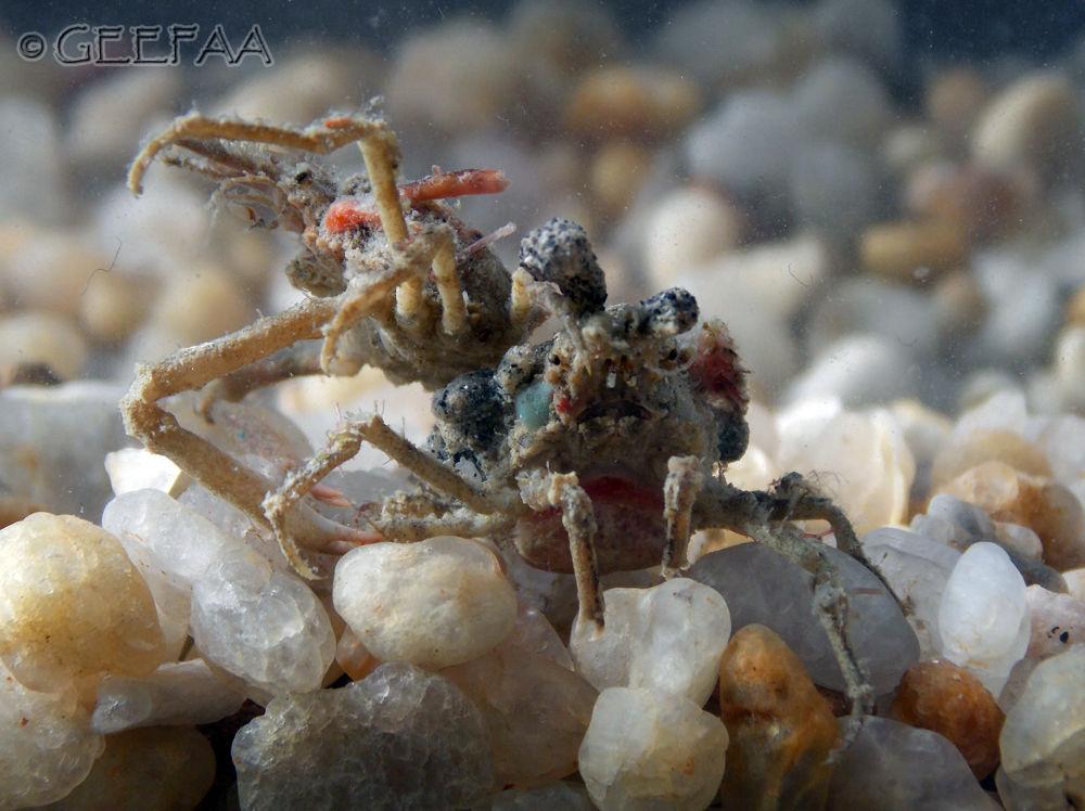 Spider Crab (Notolopas brasiliensis) by Alex Barbosa