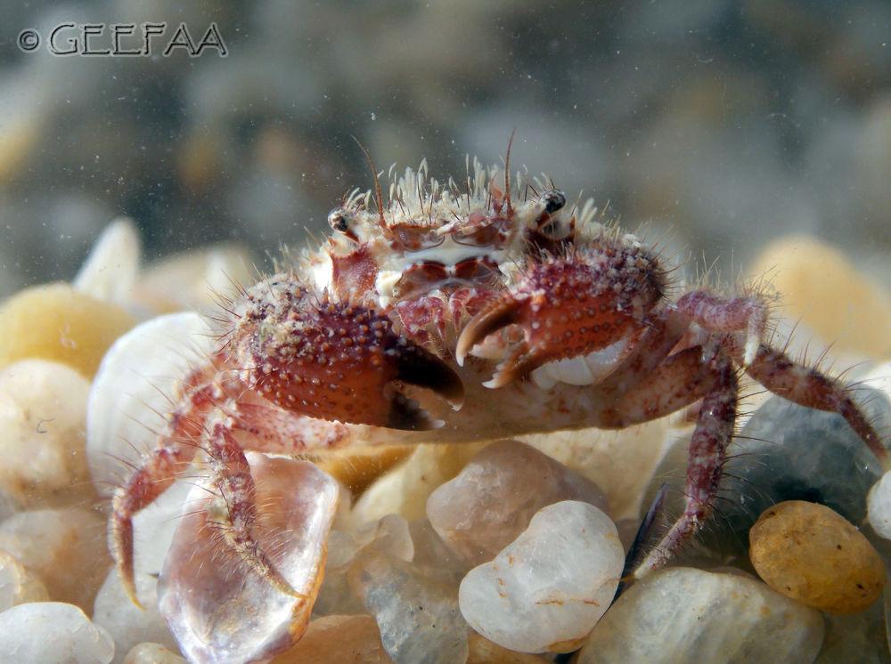 Punk crab.. OHH YEAHHH!! (Pilumnus diomedae) by Alex Barbosa