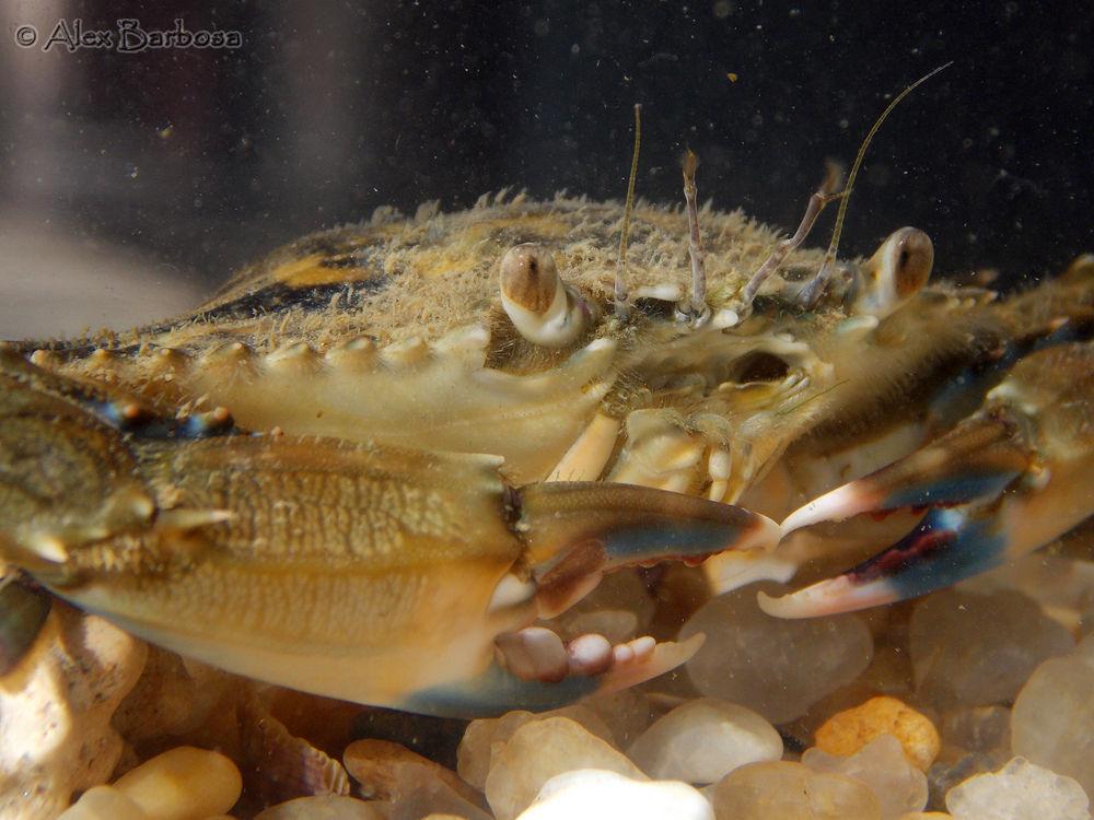 Swimming crab - (Callinectes marginatus) by Alex Barbosa