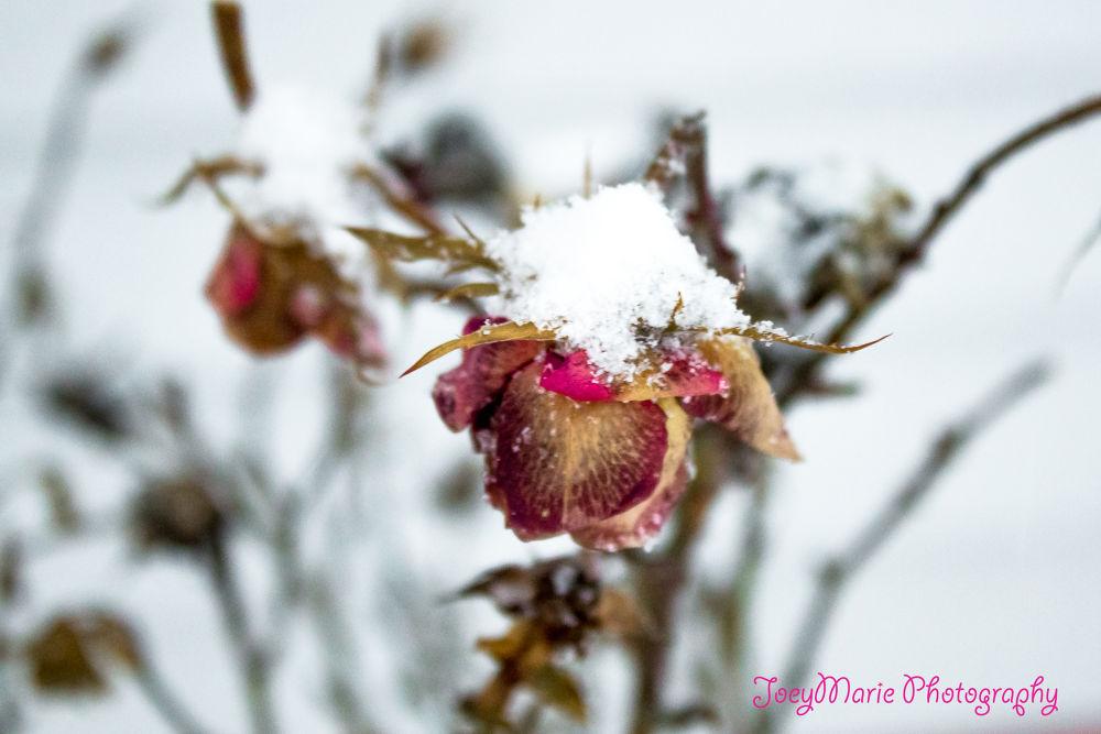 Snowy Rose by Alicia Farias