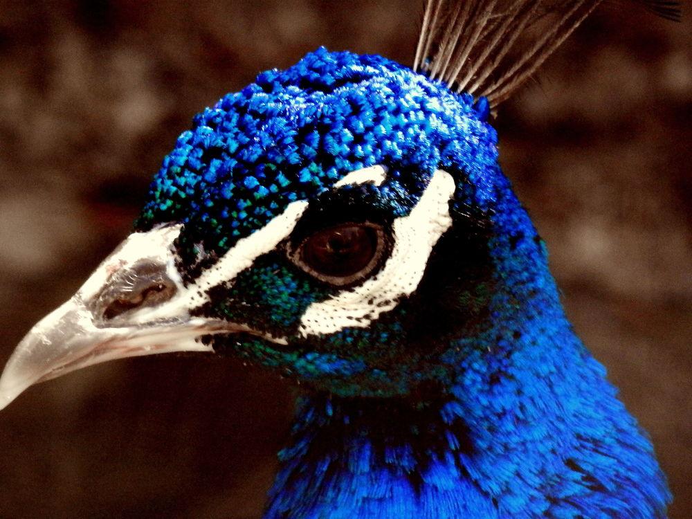 portrait of a peacock by lejuju2a