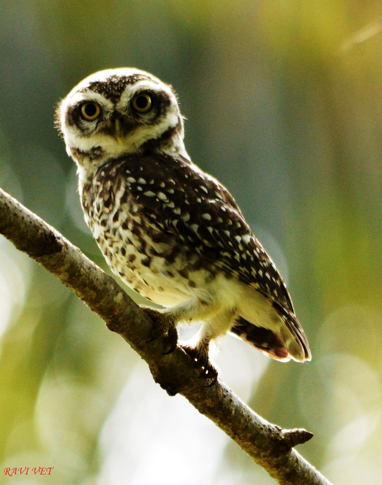 spotted owlet by Ravi Vet