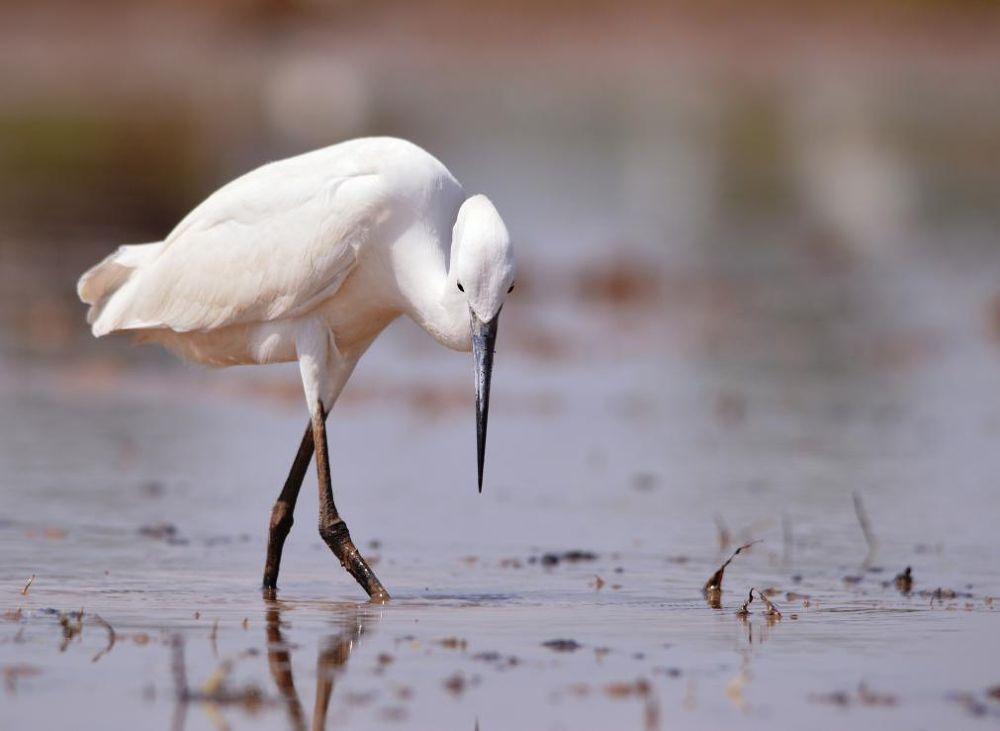 intermediate egret by Ravi Vet
