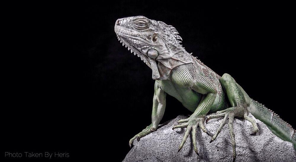 Iguana by Milad Heris