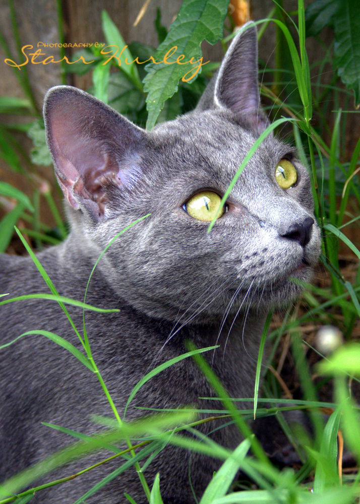 Russian Blue  by Amber Parker