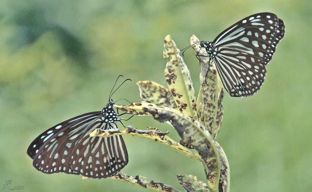 Twin Butterfly by Mohd Faridz