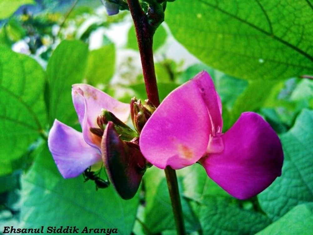 Kidney Bean Flower by Ehsanul Siddiq Aranya