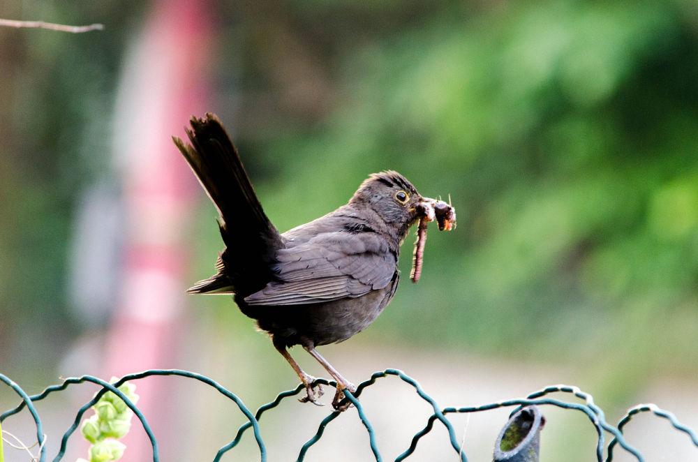 A Common Blackbird by Ronnie Borgquist
