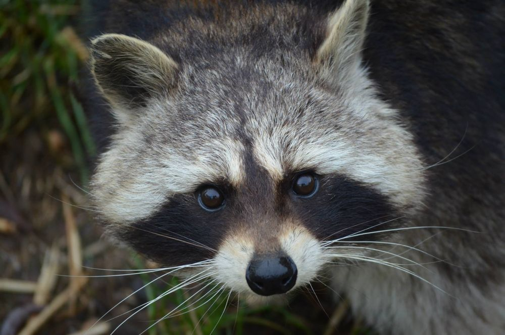 Photo in Animal #racoon #denmark #zoo #petting zoo #animal #orøstrand