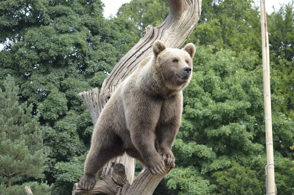 KBH Zoo - Bear by Ronnie Borgquist