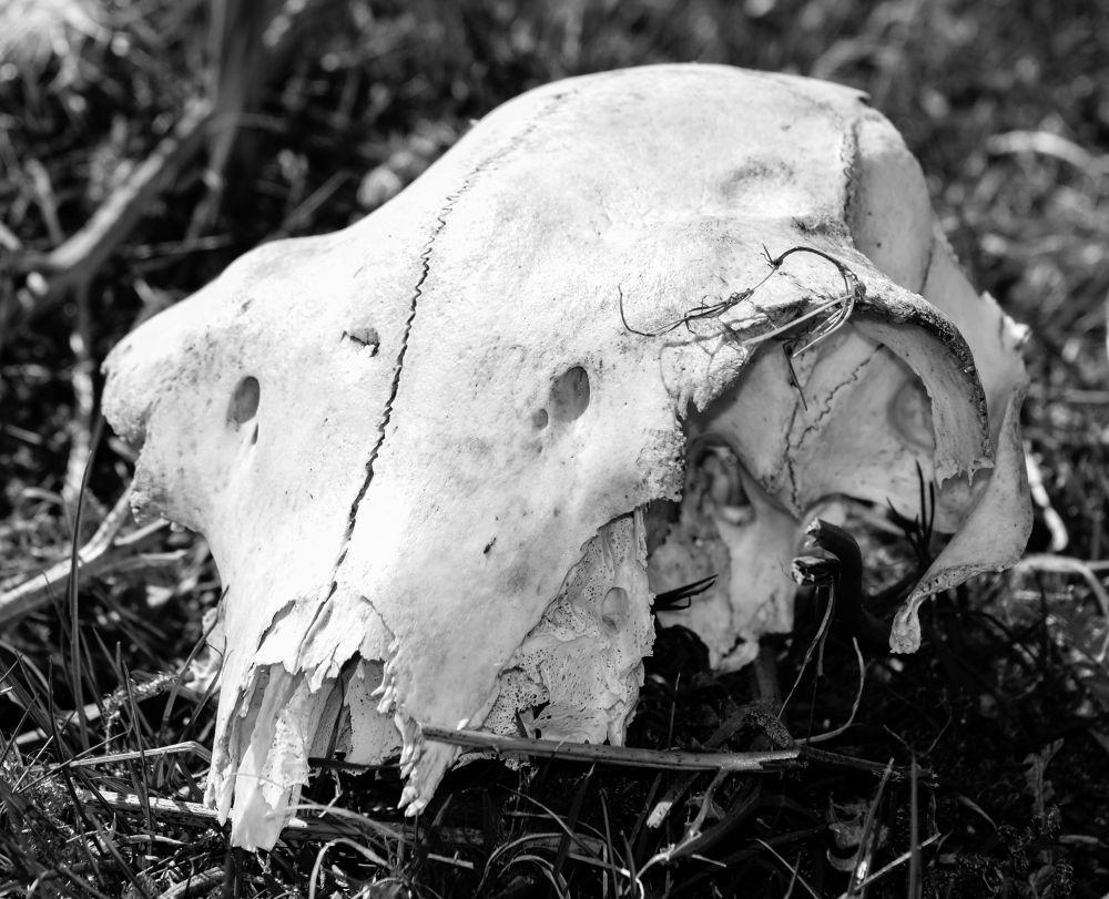 skull by Delwyn Edwards