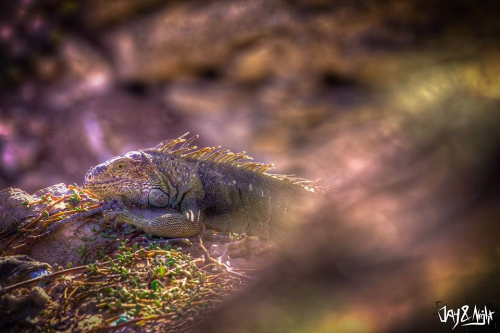 lizard by Manuel F. Bou