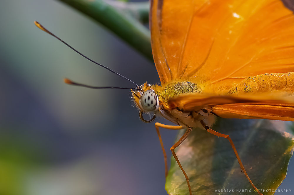 Orange butterfly - macro by harvey140163