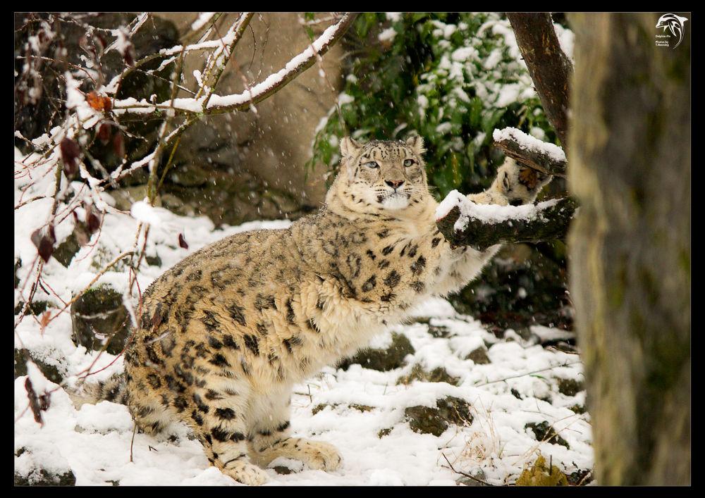 Snow leopard by DelphinPix