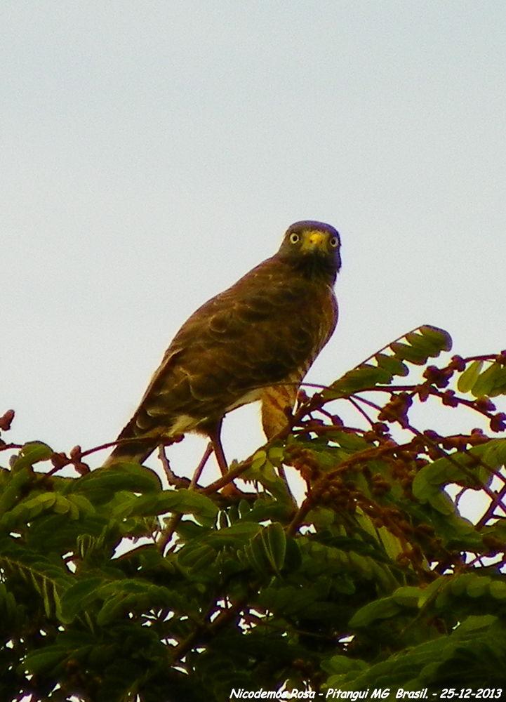 Photo in Nature #bird hawk gavião nicodemos pit