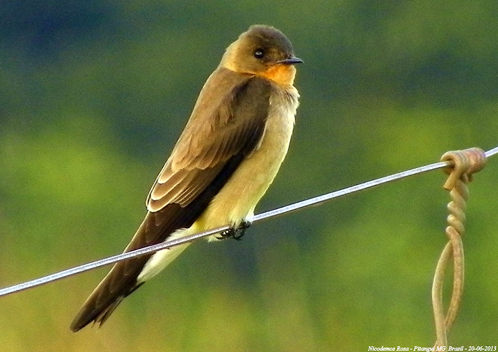 Photo in Nature #bird nicodemos pitangui brasil