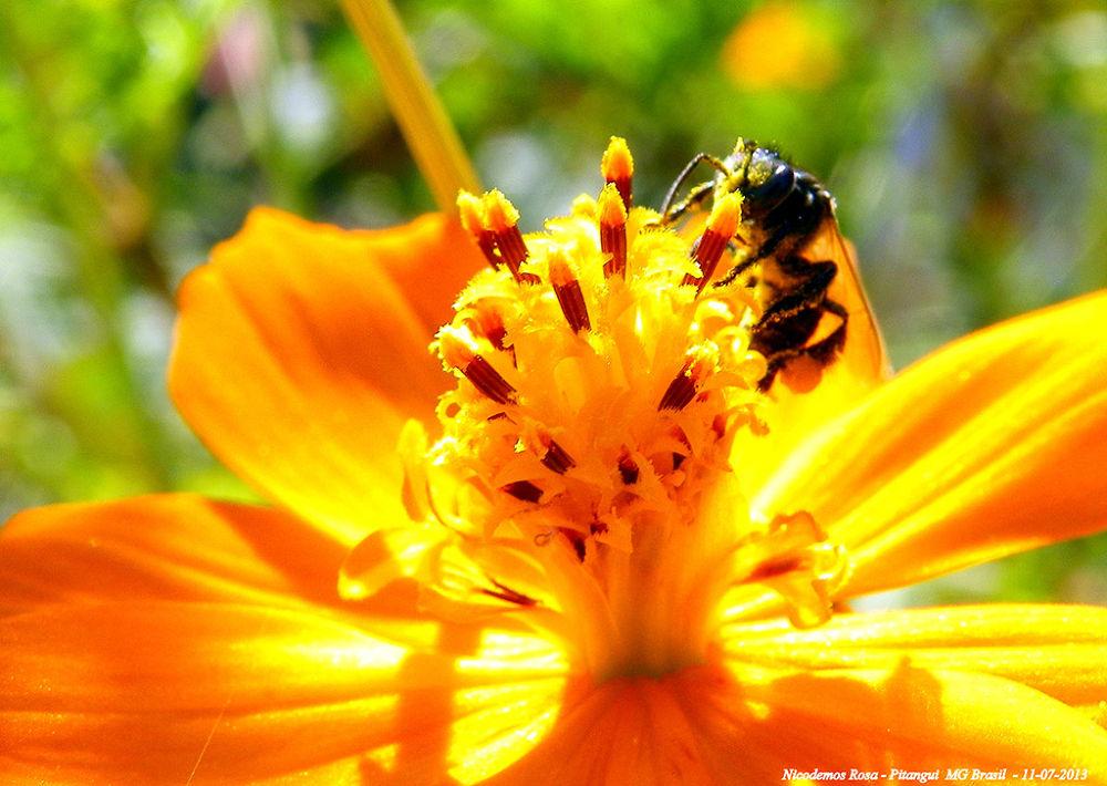 Photo in Nature #abelha cosmos flor nicodemos p