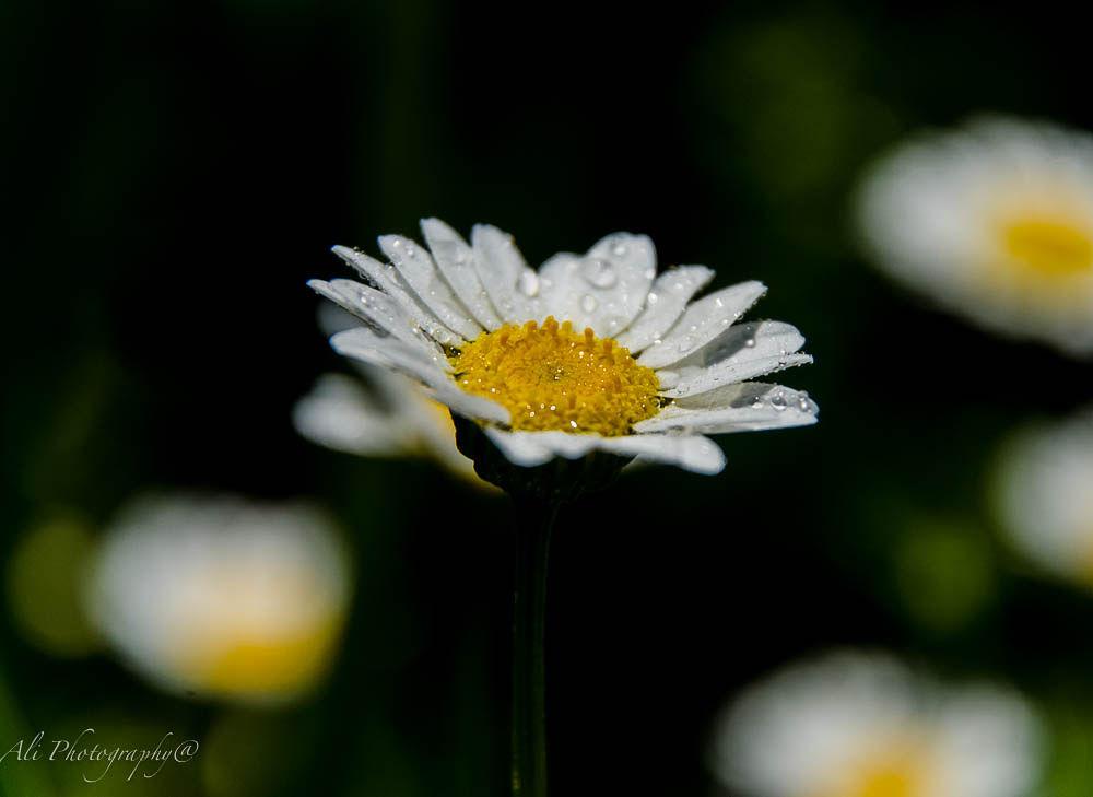 Photo in Nature #flower #macro #spring #garden #nature #yellow #white #australia #au #aussie #oz #flicker #500px #google #yahoo #msn #ali saadat photography #shot #rain #facebook