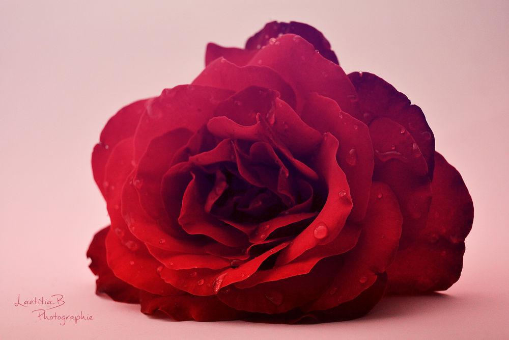 Velvet flower by Laetitia Beau